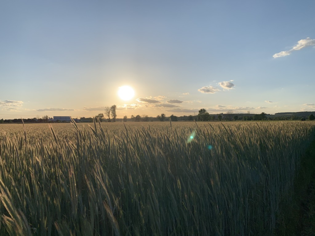 Sonnenuntergang hinter Kornfeld